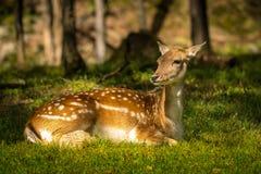 Hjortar som tycker om en sommardag Arkivbild