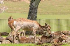 Hjortar som tycker om på Nara Park i frihet under våren i Japan Arkivfoton