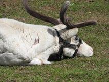 Hjortar som vilar i en ?ng p? en hjortlantg?rd, en klar dag royaltyfria foton