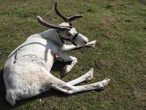 Hjortar som vilar i en ?ng p? en hjortlantg?rd, en klar dag royaltyfri fotografi