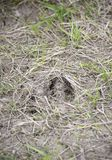 Hjortar spårar i gräset Arkivfoton