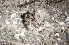 Hjortar spårar i gyttjan Arkivbild