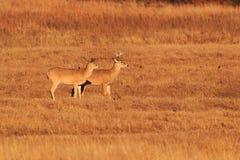 hjortar tailed white Arkivbild