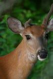 hjortar tailed white fotografering för bildbyråer