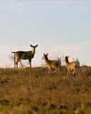 hjortar tailed white Royaltyfri Fotografi