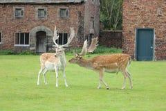 hjortar tillsammans två Royaltyfri Fotografi
