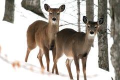 hjortar två Fotografering för Bildbyråer