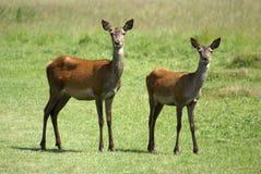 hjortar två Royaltyfri Fotografi