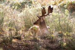 Hjortar under brunsten Royaltyfri Fotografi