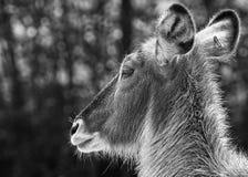 Hjortar vänder mot slut upp svart vit arkivbild