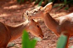 Hjortar visar förälskelse Royaltyfri Foto