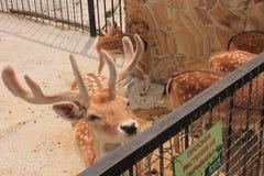 Hjortarna i zoo Arkivbild