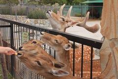 Hjortarna i zoo Arkivfoton