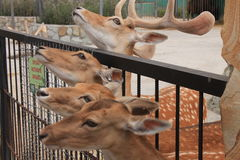 Hjortarna i zoo Arkivfoto