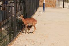 Hjortarna i zoo Royaltyfria Foton