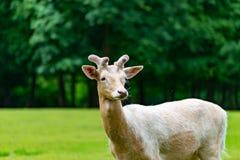Hjortarna på gräset Arkivfoton