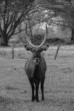 Hjortblack&white arkivfoto