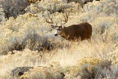 Hjortbock med stora horn på kronhjort Royaltyfria Foton