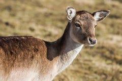 Hjortdamakvinnlig i natur, europeiskt djurlivdjur eller däggdjur i löst royaltyfria bilder