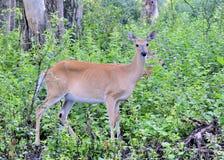 hjortdoen lismar whitetailen Arkivfoto