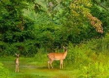 hjortdoen lismar whitetailen Royaltyfri Foto