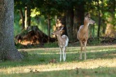 hjortdoen lismar whitetailen Royaltyfria Bilder