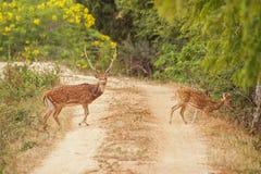 Hjorten korsar vägen Arkivbild