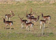 hjortengelskaflocken parkerar Royaltyfria Bilder