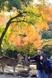 hjortfall japan nara royaltyfri fotografi
