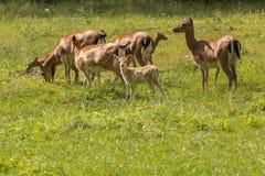 Hjortfamilj under att söka efter föda Arkivfoto