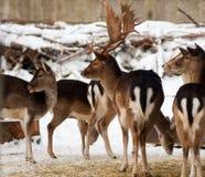 hjortflock royaltyfri foto