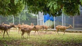 Hjortflock, grupperat som strosar i zoo fotografering för bildbyråer