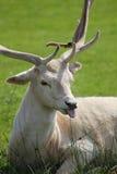 hjortfokustunga Royaltyfri Bild