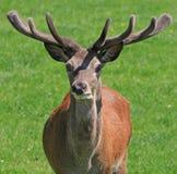 hjortfullvuxen hankronhjort Arkivbilder