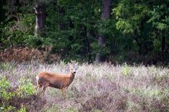 Hjortfullvuxen hankronhjortanseende i ett ljungfält nära skogkanten Se in mot kamera Liten fullvuxen hankronhjort Arkivbild