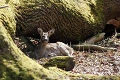 Hjorthind i vinterlaget som vilar på ett träd Arkivbild
