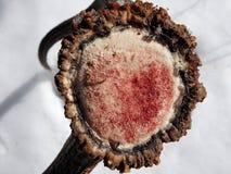 Hjorthorn på kronhjort i snön arkivfoton