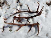 Hjorthorn på kronhjort i snön royaltyfria foton