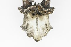 Hjorthorn på kronhjort med en skalle royaltyfria bilder