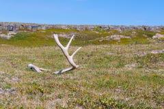 Hjorthorn på kronhjort som finnas på rysstundran Royaltyfri Fotografi