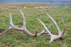 hjorthorns Royaltyfri Foto