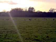 Hjortiakttagelse i solnedgången på Richmond Park, London arkivfoton
