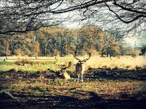 Hjortiakttagelse i solnedgången på Richmond Park, London fotografering för bildbyråer