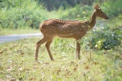 Hjortkorsning väg i en skog Fotografering för Bildbyråer