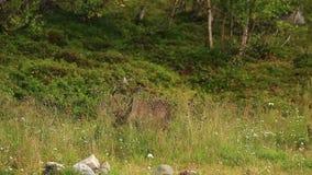Hjortman på kanten av skogen lager videofilmer