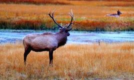 hjortmule yellowstone Royaltyfri Foto