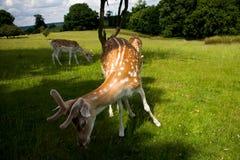 hjortpark Royaltyfri Bild