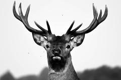Hjortportait Arkivbild