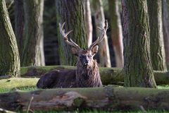 hjortredfullvuxen hankronhjort royaltyfria bilder