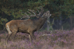hjortredfullvuxen hankronhjort royaltyfria foton
